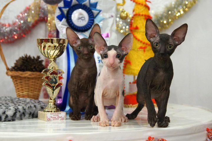 4-5 января 2017 - Выставка кошек. Фоторепортаж.
