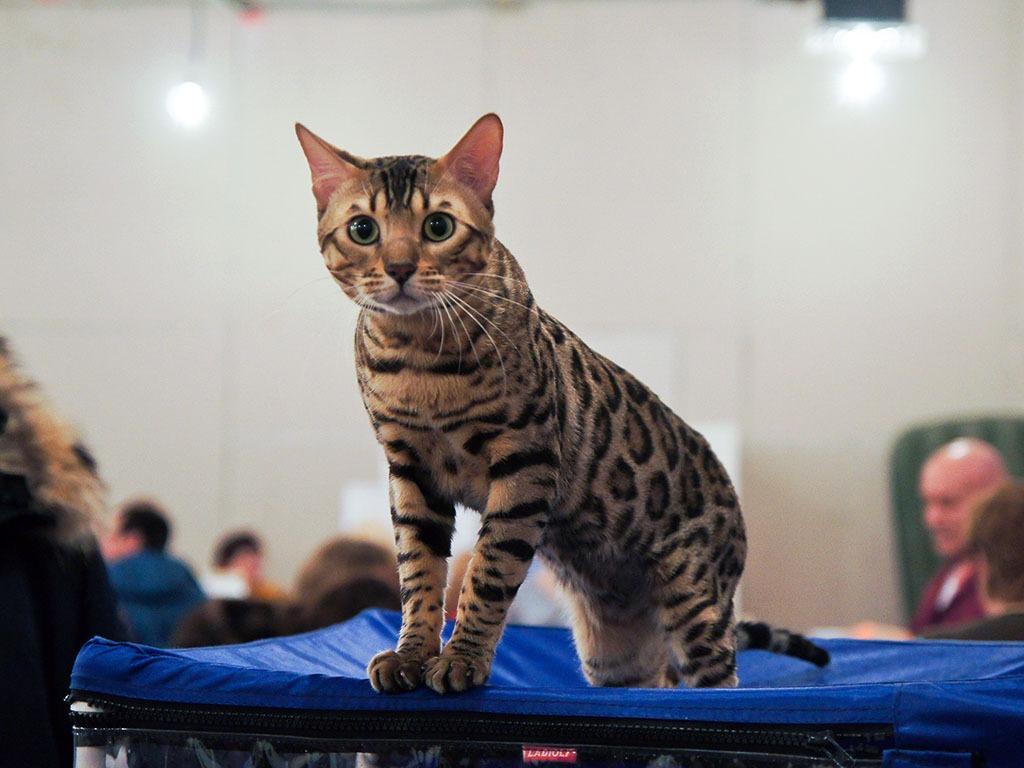 Выставка кошек 4-5 января 2017