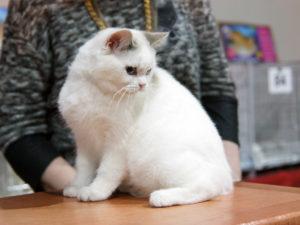 Выставка кошек 1-2 апреля 2017, Смоленск, ФПЦ КЭТТИ